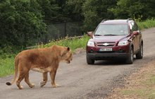 Premiéra lvího safari v Česku: Králům zvířat auta nevadí!