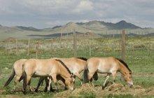 Koně Převalského z pražské zoo už pobíhají po Mongolsku!