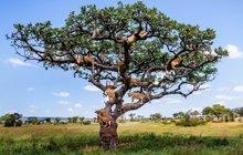 Nezvyklý strom v Tanzanii: Kdepak hrušky nebo třešně, tady rostou lvi!