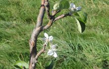 Teplé babí léto zmátlo přírodu: Rozkvetly stromy!