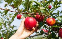 Rádce Aha! Uskladnění ovoce a zeleniny: Čerstvé celou zimu