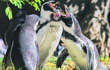 Zvláštní chování tučňáků na podzim v pražské zoo: Propukly u nich vášně!