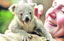 Koala z německé zoo: Jsem malá, ale vysmátá jako lečo!