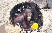 Páté narozeniny orangutanky: Tessa si připila moštem!