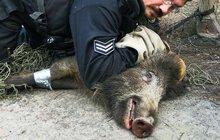 Policista ulovil divočáka!