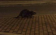 Bobři v centru Olomouce! Už to nejsou plachá zvířata...