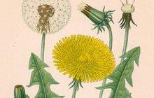 LÉČITELSKÝ SPECIÁL: Čarovná moc bylin II. Co dokáže smetánka, kopřiva, sedmikráska, jitrocel a meduňka?