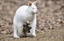 11 malých klokánků v Zoo Zlín: »Největší« rarita se skrývá v kapse!