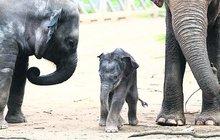 Dojemné video: Sloní mládě se ukrývá pod maminkou!