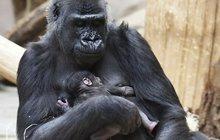 Zázrak v pražské zoo: Shinda porodila mládě!