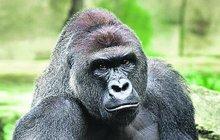 Gorilu museli zastřelit...Podle odborníka je na vině hysterie!