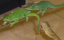 Pašerák utýral chameleony!