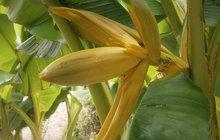 Zahrádkáři, koukejte! Banánovník kvete u Žatce!