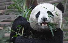 Zoo Praha se chystá na pandy: 200 milionů za pavilon!