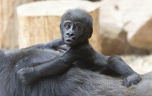 Gorilí prcek z pražské zoo roste jako z vody!