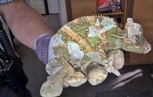 Vyděšená žena v Opavě: Do ložnice za ní vlezl chameleon!