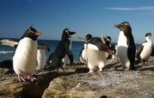 Výkonní tučňáci: Za zimu uplavou 15 tisíc km!