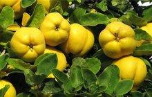 Podzimní ovoce: Zavařujeme kdoule!