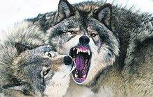 Vlci se vrátili po 200 letech do Krušných hor! Rdousí ovce!