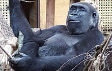 Gorila Moja má nařízenou antikoncepci!