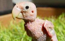 Nahý papoušek dojal svět!