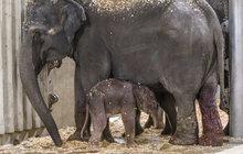 Pražská zoo slaví: Narodil se sloní kluk!