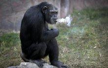 Kouřící opice Azalea (19) ze zoo diktátora Kim Čong Una: Čadí krabičku denně!