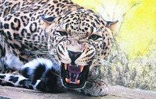 Levhartí námluvy v jihlavské zoo skončily krvavou šarvátkou: Samce zkrotil diazepam!