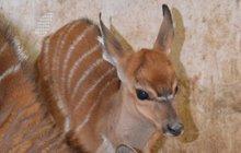 Nový přírůstek v jihlavské zoo: Antilopa se narodila do mrazu…