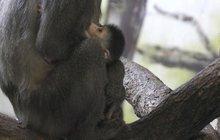 Žijí jen ve Dvoře Králové: Ježíšek přinesl opičku!