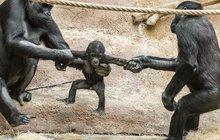 Goriláček Ajabu: Jejda, vždyť mě roztrhnete!