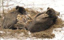 Je únor, mrzne a v přírodě se rodí mláďata: Bachyně mají kupu selat!