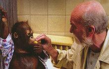 Slavný orangutaní pár známý z filmu Dva lidi v zoo: Ňuňák s Ňuninkou přišli o mládě!