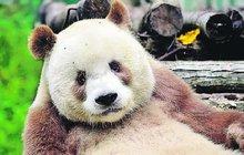 Jediná na světě! Panda, kterou nikdo nechtěl