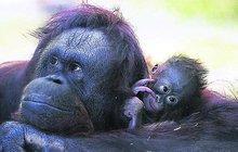 Veterináři vědí, proč umřelo mládě vzácného orangutana: Krvácel do mozku!