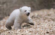 Zoo tone ve smutku: Medvídka Fritze zabil...