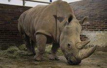 Zoo ve Dvoře Králové se bojí pytláků: Nosorožcům uřežou rohy!