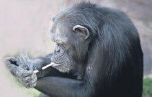Šimpanzi diktátora Kima těžce závislí na nikotinu !