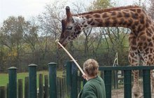 Utratili žirafu Bastiaana (†7): Nehodil se do chovu, nikdo ho nechtěl...