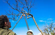 Chcete mít letos větší úrodu ovoce? Prořezávejte stromy!