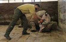 Královédvorská zoo: Nosorožcům tam uřezávají rohy!