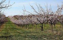 Tak už kvetou meruňky: O 14 dnů dřív! Nezmrznou jako loni?