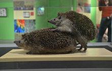 Odvážná výstava o sexu v přírodě: Jak se milují ježci?