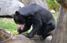 Medové hody medvědů v ústecké zoo