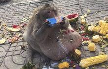 Makak už váží 15 kilo: Co seberu, to sežeru!