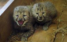 Gepardí dvojčata: Bratři, jak se patří!
