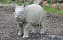Nosorožčí batole váží 200 kilo: Růženka je bahňák!