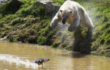 Medvídek nemotora zatoužil po »svačince«!