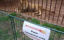 Chtěl si zblízka vyfotit lva: Ten ho pokousal!