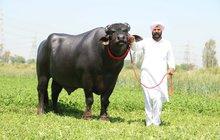 Největší býk má cenu 75 milionů korun!